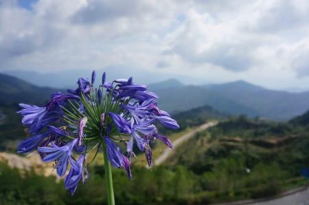violette fleur: Fleur pourpre avec le fond de montagne