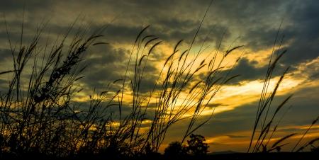 野草: 夕日を背景に野草のシルエット