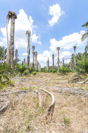 replanting: Replanting oil plam at estate plantation Stock Photo