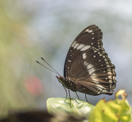 giant sunflower: Malayan palm fly butterfly on green leaf