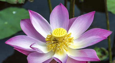 Pink lotus with close up view