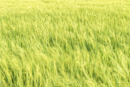 waver: Waves of paddy field