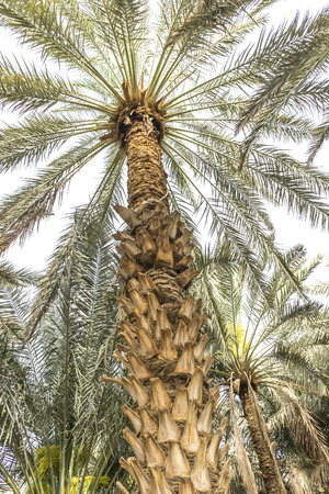 date tree: Date tree close up