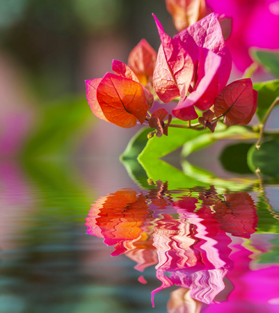 bush to grow up: Pink bougainvillea flower and reflection Stock Photo