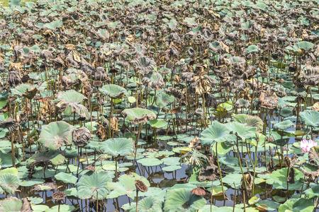 The dry lotus photo