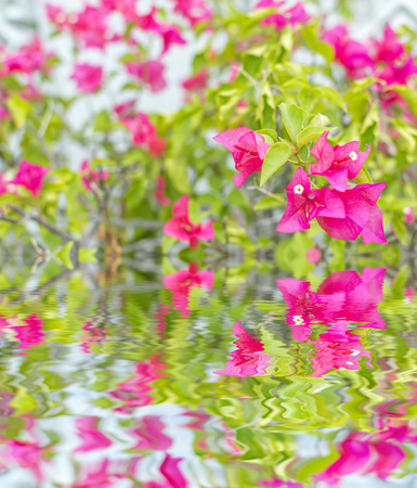 bush to grow up: Pink bougainvillea flower close up and reflection Stock Photo