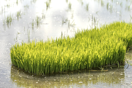 mire: Paddy sprouts prepare for transplantation on paddy field.