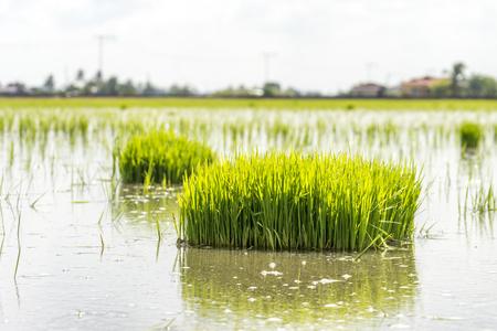 slushy: Paddy sprouts prepare for transplantation on paddy field.