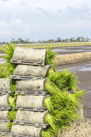 transplantation: Paddy sprouts prepare for transplantation on paddy field.