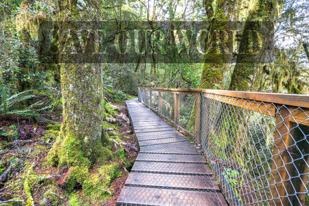 small world: Wooden walkway in the rain forest. Sinking in mossy trees and numerous ferns. Haast, West Coast, New Zealand Stock Photo