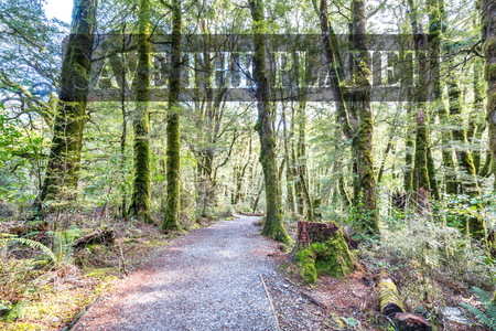 Wooden walkway in the rain forest. Sinking in mossy trees and numerous ferns. Haast, West Coast, New Zealand Stock Photo