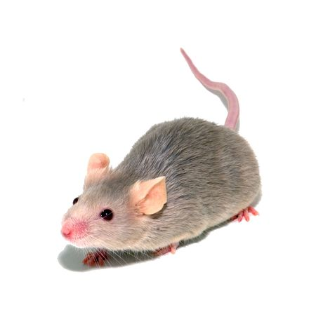 small mouse photo