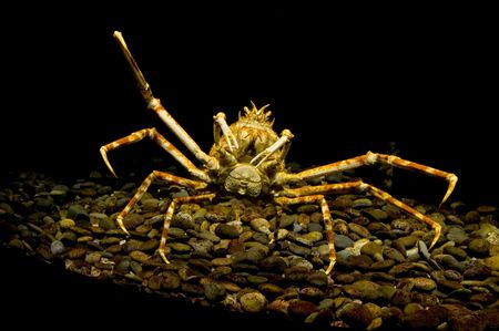 Giant Spider Crab in Tank