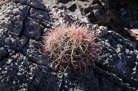 Small Barrel Cactus growing out of a rock photo