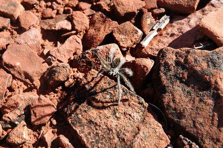 tarantula in desert environment