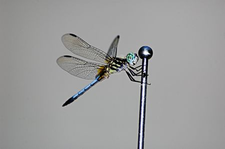 the sides: Dragonfly perched on an automobile antenna short depth of field, with copyspace at sides and top. Stock Photo