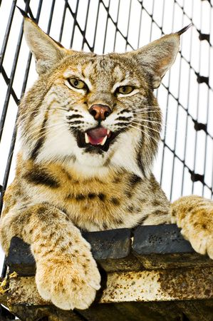 Bobcat in its cage at the zoo from inside the cage Imagens