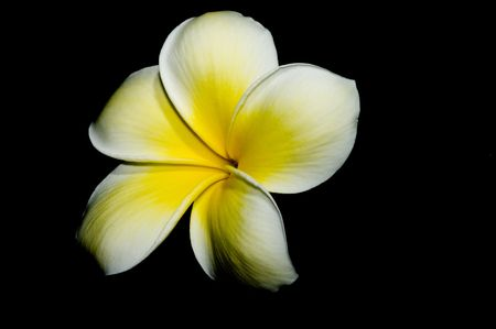 leis: plumeria bloom on black background
