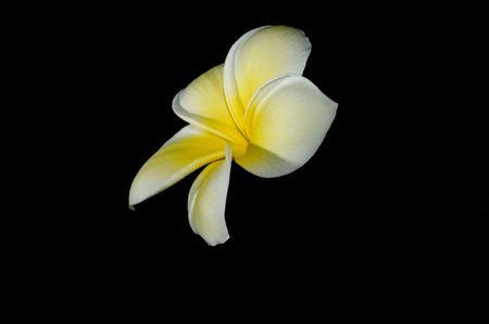leis: Plumeria fiore su sfondo nero  Archivio Fotografico