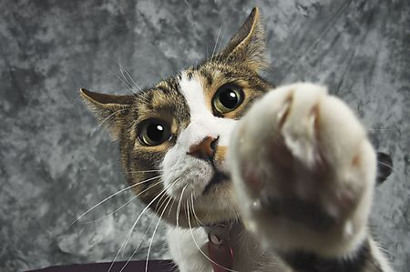 Pet cat batting at the camera with shallow depth of field focused on the cats eyes Stock fotó