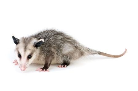 Young opossum on white background Imagens