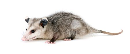 omnivore: Young opossum on white background Stock Photo