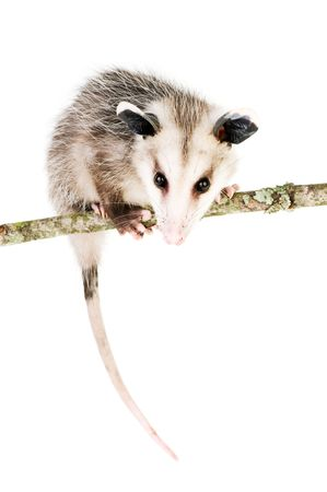 omnivore animal: Young opossum balanced on branch on white background