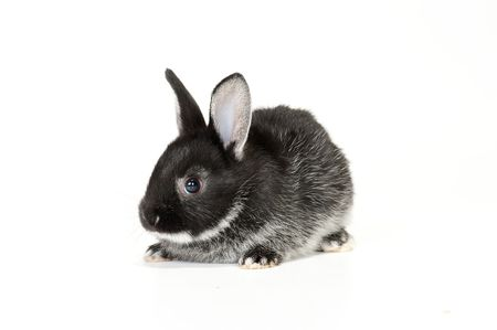 Cute black and white baby rabbit on white background
