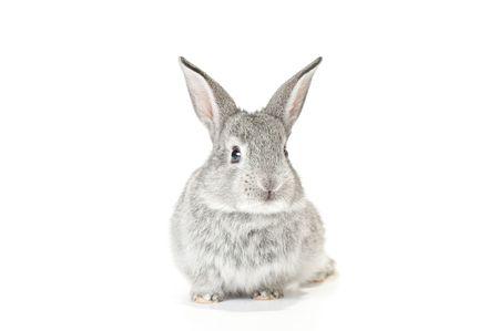 young rabbit: Bébé gris Mignon lapin sur fond blanc