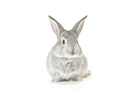 on gray: Cute gray baby rabbit on white background