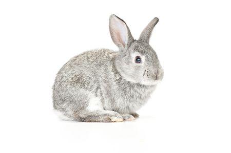 Cute gray baby rabbit on white background