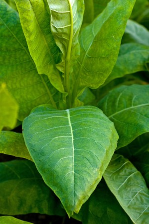 tobacco plants: Lines of green tobacco plants on a field Stock Photo