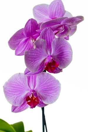 lila: Little lila orchid on a white background Stock Photo