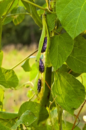 Bean on the branch in the vegetable-garden photo