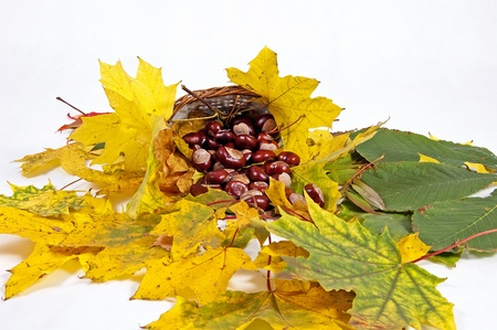 conkers: Autumn leaves and chestnuts on the white background