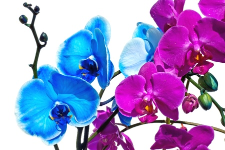 lila: Blue and pink orchid flower on a white background
