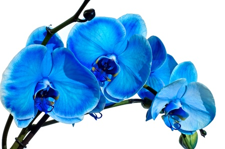 Blue orchid isolated on white photo