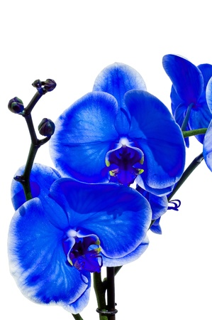 Little blue orchid on a white background