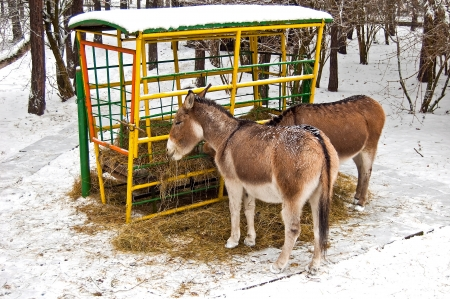 Donkey in winter by eating hay
