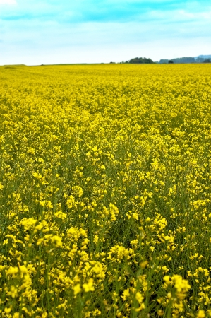 Rape field which is produced rapeseed oil