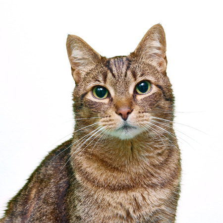 moggy: Tabby cat isolated on white