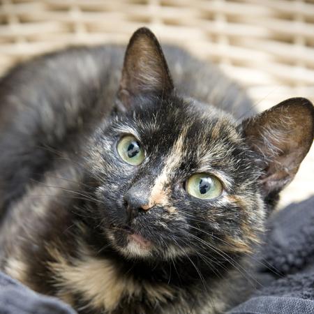 moggy: Tortoiseshell cat in a basket