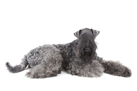 Kerry Blue terrier on white background photo