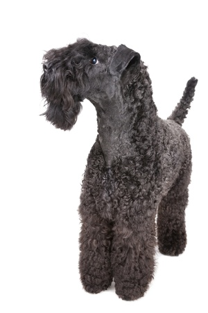 kerry: Kerry Blue terrier on white background