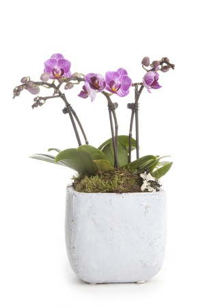 flower pot: Phalaenopsis orchid table decoration Stock Photo