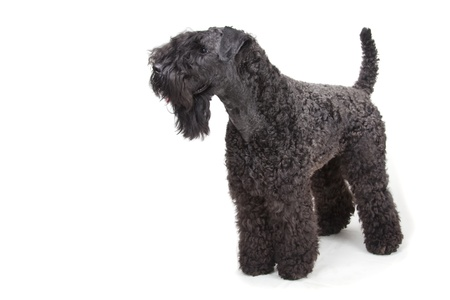 kerry blue terrier: Kerry Blue terrier on white background
