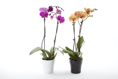 Phalaenopsis orchid photo