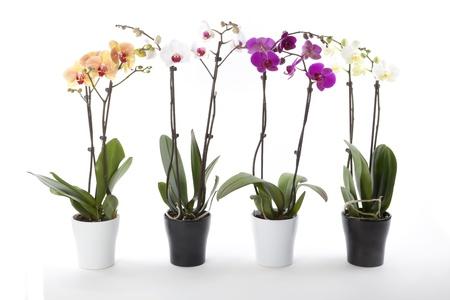plant pots: Phalaenopsis orchids