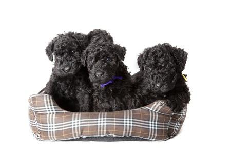 kerry blue terrier: Litter of Kerry Blue terrier puppies