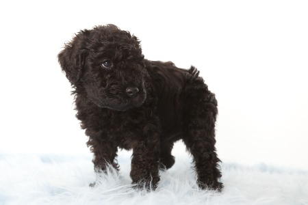 kerry blue terrier: Kerry Blue terrier puppy